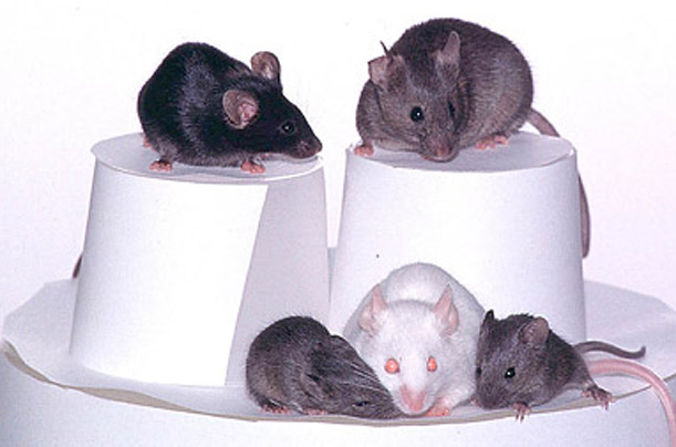 cloning dolly science mice
