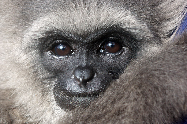 The Javan Gibbon pictured here lives at the Javan Gibbon Rescue and