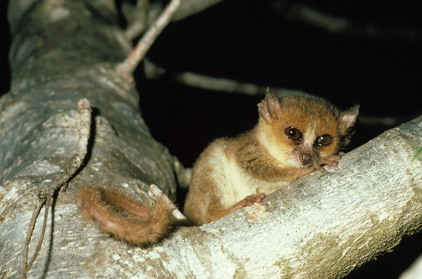 Conservationists fear that smaller primates face an even greater risk of extinction