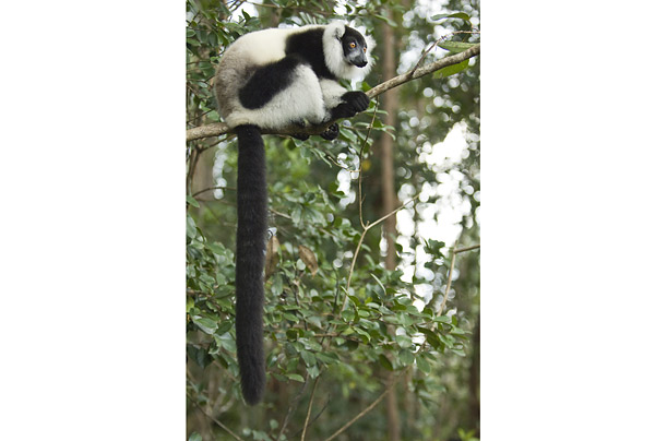 lemurs in madagascar essay View essay - the ring-tailed lemur essay from science 101 at hamilton southeastern hs the ring-tailed lemur the ring-tailed lemur lives in the dry forests and bushes of madagascar and the comoro.