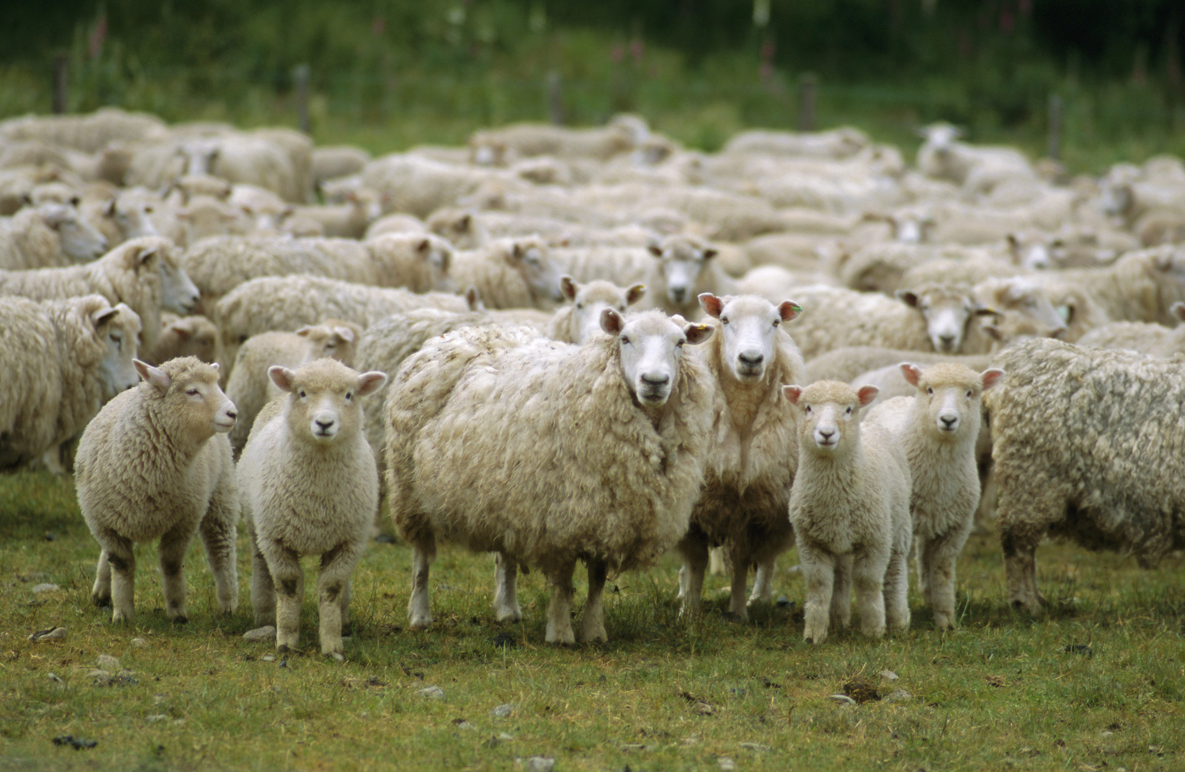 http://img.timeinc.net/time/2009/50_asian_experiences/50_asian_experiences_sheep.jpg
