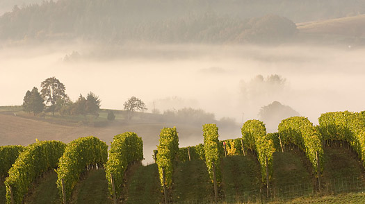 A7JAPH Fog folls over pinot noir vineyard at Willakenzie Estate Oregon