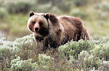 http://img.timeinc.net/time/daily/2007/0707/grizzly_bear_0730.jpg