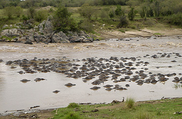 Drowned wildebeest are seen after being swept by the Mara river in Maasai Mara, Kenya's most famous game reserve September 16, 2007.