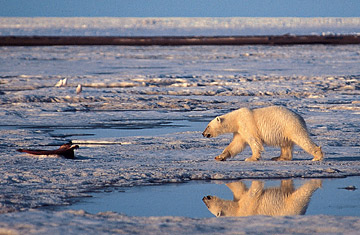 Global Warming Environment Polar Bear