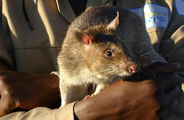 Person Of The Year Time 2018 >> The Landmine-Sniffing Rats of Mozambique - TIME
