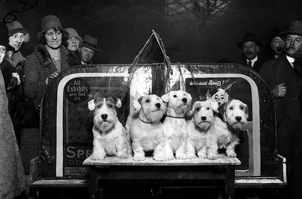 A merry party of prize winning Sealyham Terriers from the Eastfield Kennels at Bristol