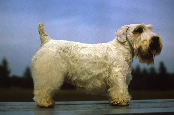 A side view of the Sealyham Terrier at the Morris & Essex Dog Show, in 1941