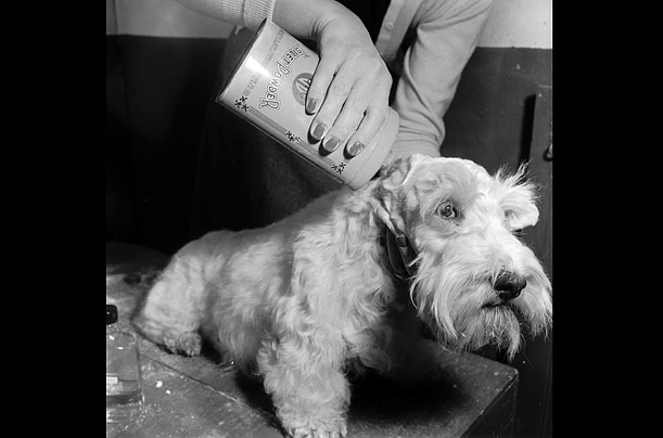 A Sealyham has his ears treated with talcum powder