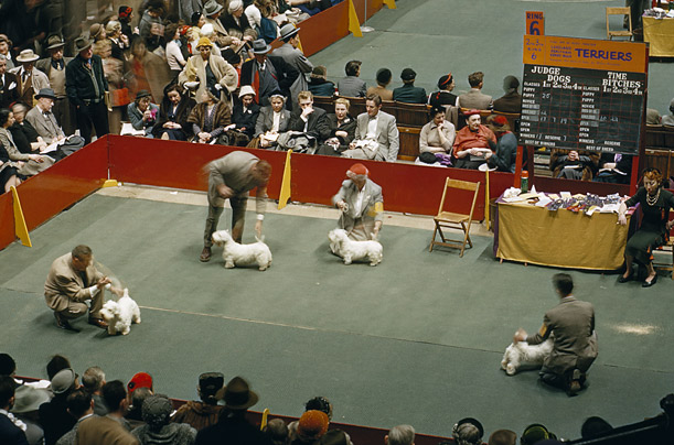 From the 1950s, dog handlers show Sealyham terriers in a competition ring in New York