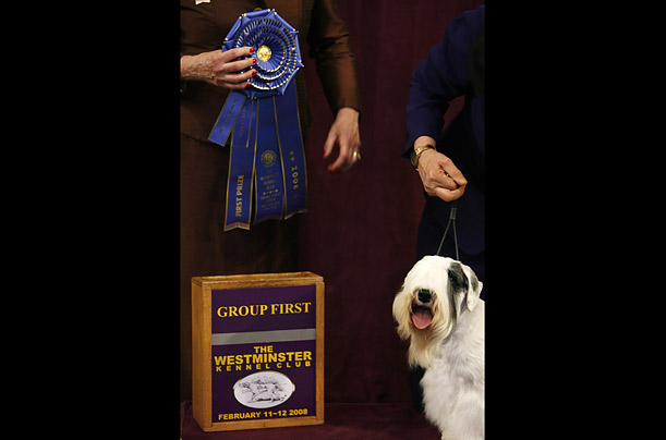 The Sealyham Terrier, Charmin Victory, stands under his championship ribbon following his win for the terrier group at the 132nd Westminster Kennel Club Dog Show