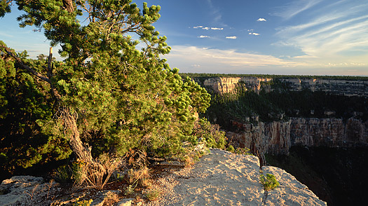 A pion pine grows on the rim of the Grand Canyon