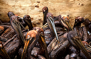 Brown Pelicans covered with oil from the BP oil spill in a holding pen at Fort Jackson Oiled Wildlife Rehabilitation Center waiting to be cleaned.