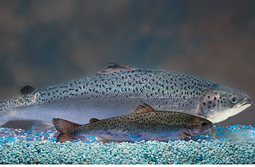 How i learned to love farmed salmon time for Farmed fish vs wild