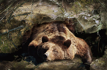 Image result for image of a bear hibernating