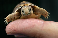A worker in a zoo holds a tiny Testudo Kleinmanni hatchling.