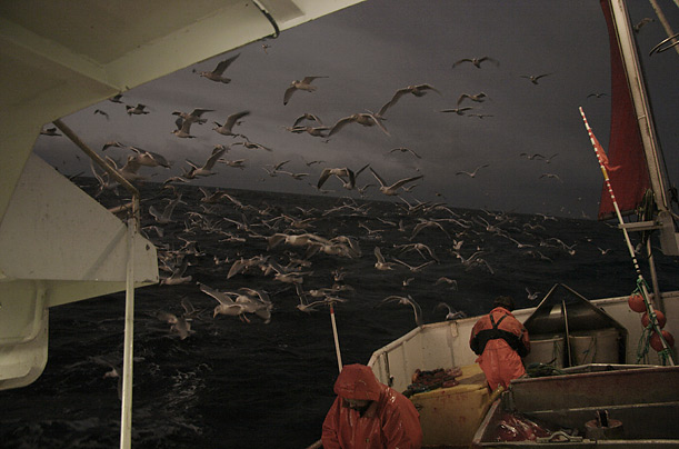 Norwegian fisherman use nets to capture halibut, red perch, cod and king crab.