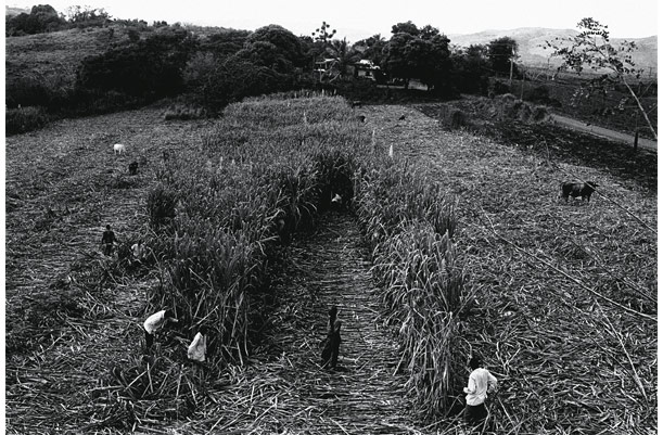 Indian sugar cane workers in the field