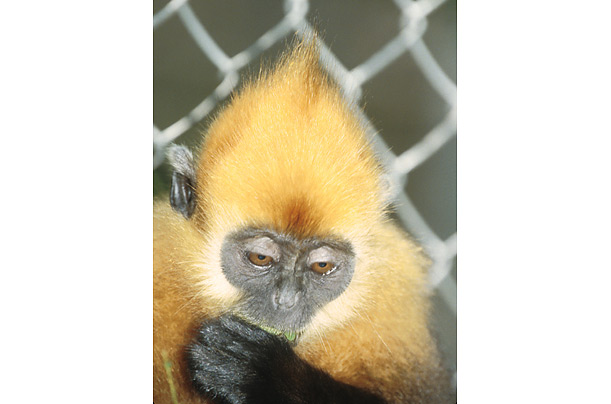 Golden-headed langur ndangered primates