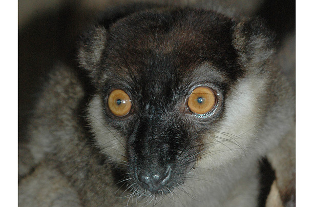 White-collared lemur endangered primates