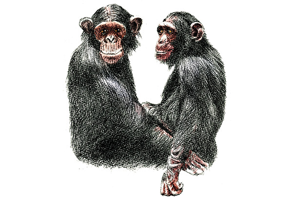 animals love relationships Chimpanzees