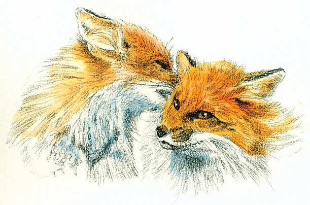 animals love relationships red foxes