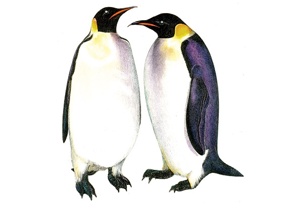 emperor penguin essays The emperor penguin population the emperor penguin population could shrink by 95 percent by 2100 the study's authors explain that the reason for the negative.