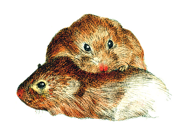 animals love relationships Prairie Voles