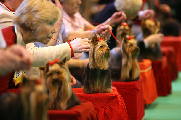 Yorkshire Terriers sit proudly for the judges during Crufts 2008 at the National Exhibition Centre on March 6, 2008, in Birmingham, England.