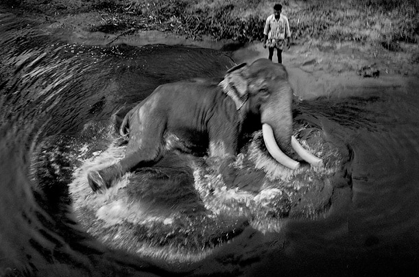 elephants of asia photo essays time while its relative in africa flourishes the elephant population of asia numbers less than 40 000