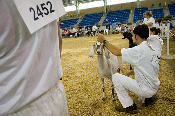 For those in the dairy goat show world, the culmination of years of hard work is the American Dairy Goat Association's National Show held each summer in a different venue.