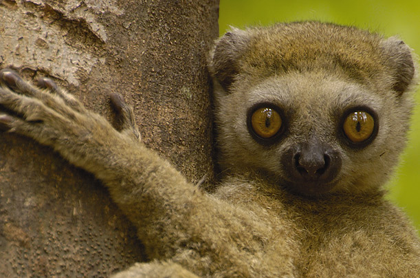 Also known as the avahi lemur, these tiny creatures — range from 11 to 20 inches in height — can only be found in Madagascar.