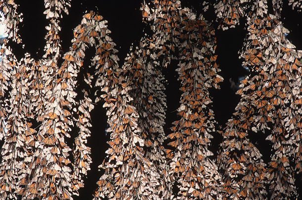 Every year, millions of monarch butterflies wait for the end of the winter season in close-packed clusters in the Oyamel fir forests.