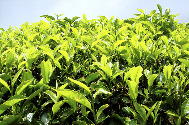 Camellia Sinensis the plant species that produce the main four types of tea, flourish in the sun