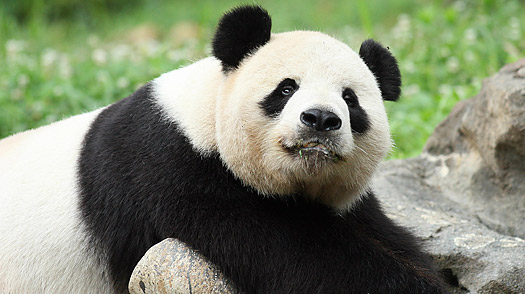 Giant Panda Tian Tian relaxes in his habitat at the National Zoo  in Washington, DC,