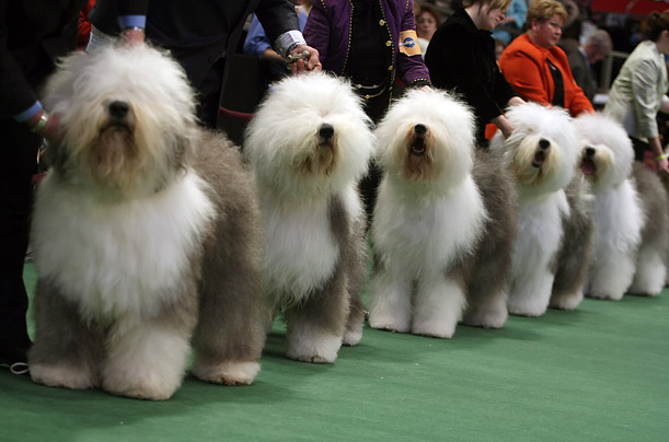 Westminster Kennel Club Annual Dog Show dogs puppies