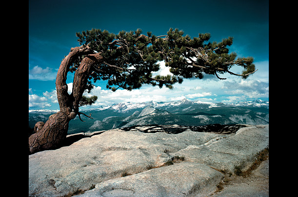 Jeffrey Pine on Sentinel Dome, Yosemite National Park, 1948