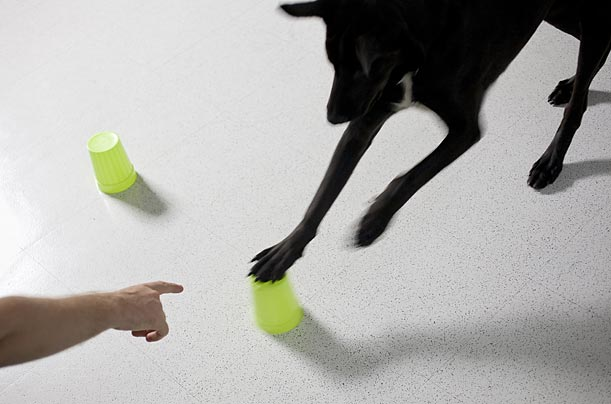 Professor Hare argues that dogs, unlike other intelligent species, like chimps, can easily learn to follow a pointing finger.