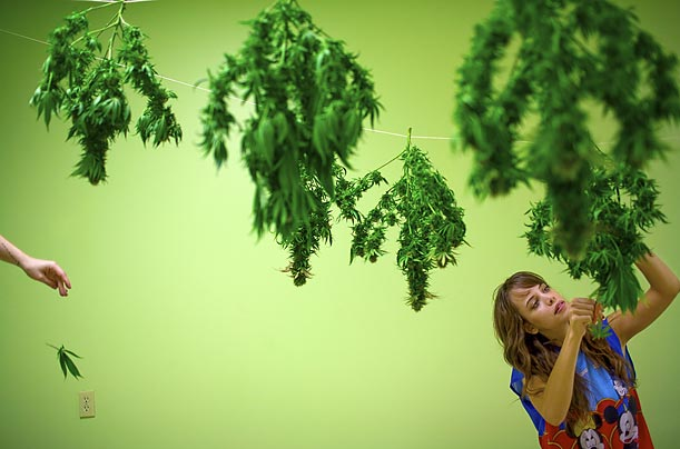 <span style='font-weight: bold'>Underground Harvest</span><br />Marijuana plants are trimmed and hung to dry at a grow operation in Georgia.