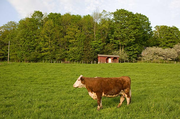 <span style='font-weight: bold'>For Sale</span><br />Northern Hollow Farms sells its customers the meat from an entire cow. Because a typical animal can yield hundreds of pounds of beef, families typically split its cost and share the meat once it has been butchered.