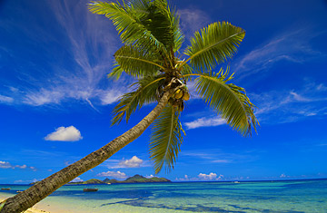 about coconut tree essay