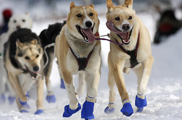The 2009 Iditarod The 37th annual running of Alaska's epic sled dog race is under way