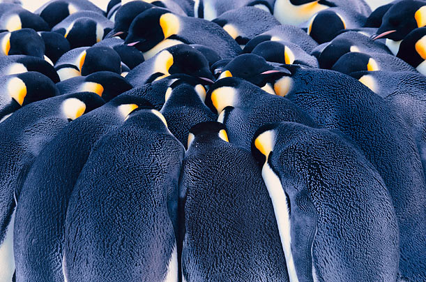 Sharing the Warmth  The Emperors huddle together to protect themselves from the extreme cold of Antarctica. Scientists warn that