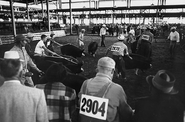 The judging of livestock in the U.S. dates to the 19th century. In the photograph above, competitors parade their charges before judges at the Illinois State Fair in 1958.