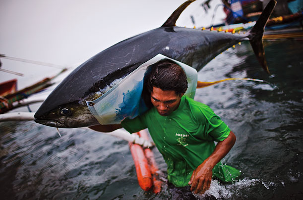 A fisherman unloads a sashimi-grade yellowfin tuna from a small boat