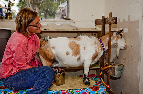 Carpenter draws milk from one of her Nigerian dwarf goats. The breed doesn't get too large — they grow to about 21 inches tall —