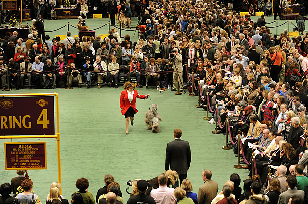 The Westminster Kennel Club Dog Show Begins Canines from across the country descend on New York for the institution's 133rd installment