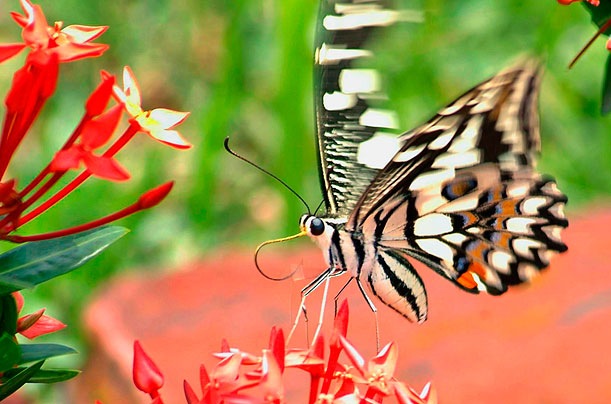A butterfly sits on a flower on the outskirts of Agartala, India, in June 2007