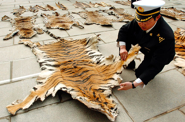 An officer of Lhasa Custom inspects a piece of tiger skin in 2005 in Tibet