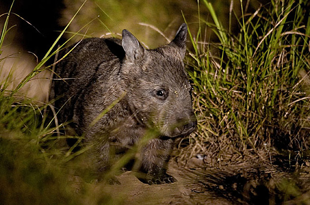 Wombat, Xsrata, Australia, endangered, brand, nocturnal, business